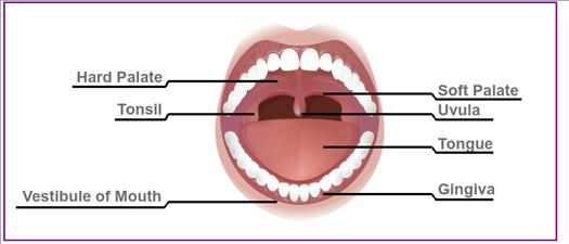 Diagram of the mouth showing the tonsils, hard and soft palates, uvula, tongue, gingiva, and vestibule.